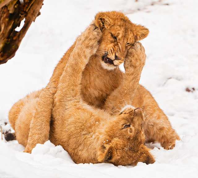 Lion cubs fighting