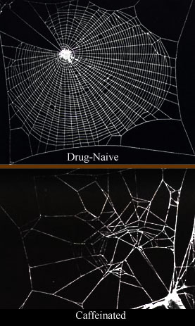 Caffeine has a significant effect on spiders, ...