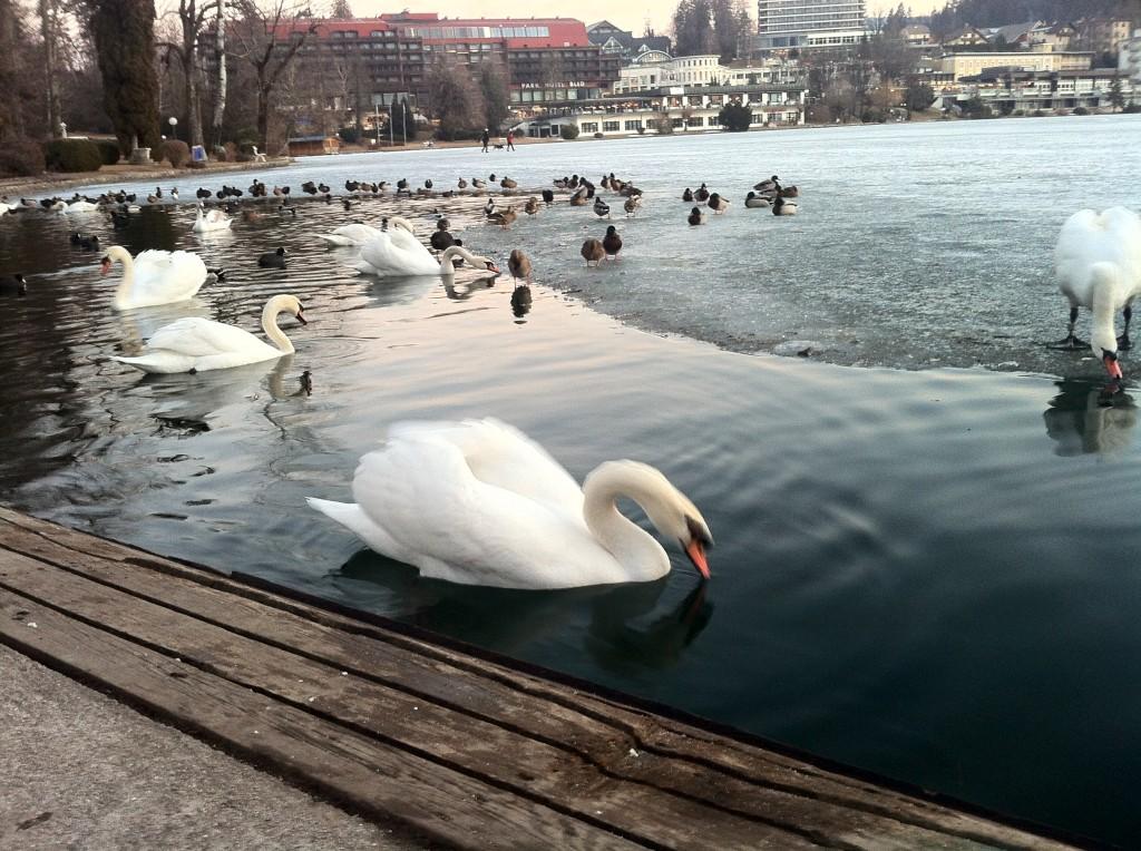 Finally, a swan