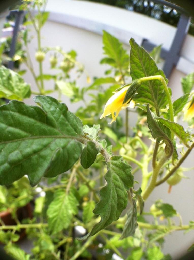A macro tomato plant